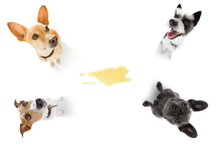couple of dogs being punished for urinate or pee  at home by his owner, isolated on white background
