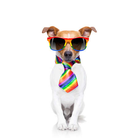 crazy funny gay dog proud of human rights ,sitting and waiting, with rainbow flag tie  and sunglasses , isolated on white background Stock Photo