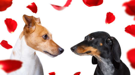 couple  of dogs in love , looking each other in the eyes, with passion, isolated on white background
