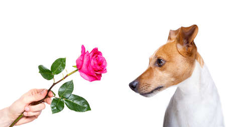jack russell dog with  a pink red rose , in love with his owner, for valentines day