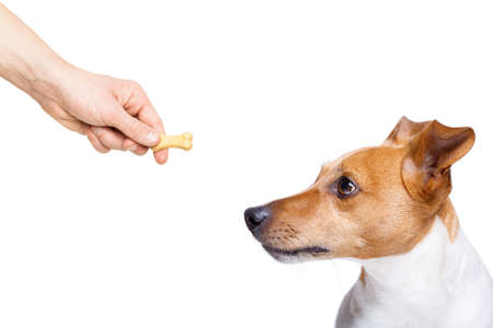 hungry jack russell dog  , for a treat  by his owner , isolated on white background for a meal or food