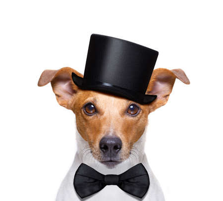 jack russell dog looking  to owner , with peace or victory fingers,  isolated on white background, wearing a black hat