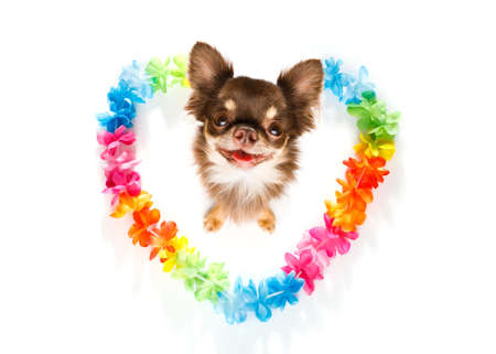 chihuahua dog in love for happy valentines day with rainbow  flower chain in heart shape  , looking up in wide angle Stock Photo