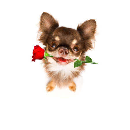 dog in love for happy valentines day with petals and rose flower , looking up in wide angle