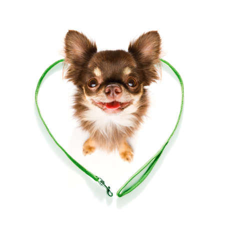 chihuahua dog looking up to owner waiting or sitting patient to play or go for a walk,in love with heart shape leash, isolated on white background Stock Photo
