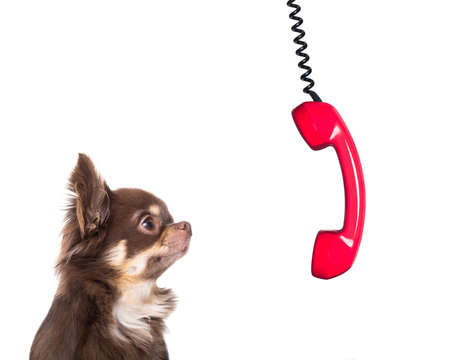 office businessman chihuahua  dog  as  boss and chef , busy and burnout , feeling the pressure at work , telephone hanging down