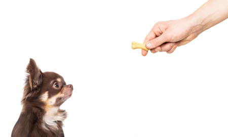 hungry chihuahua dog thinking and hoping for a treat by owner with hand,  isolated on white background Banco de Imagens