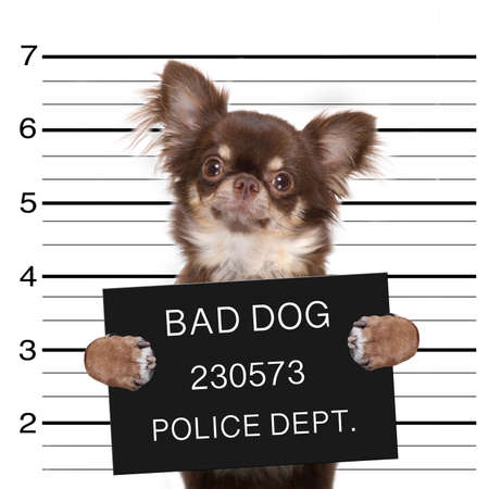 funny cute chihuahua dog  holding a placard while a mugshot is taken Stock Photo