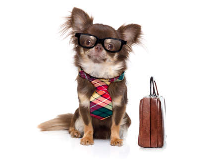 office worker businessman chihuahua boss and chef , with suitcase or bag  as a secretary,  with  tie , isolated on white background