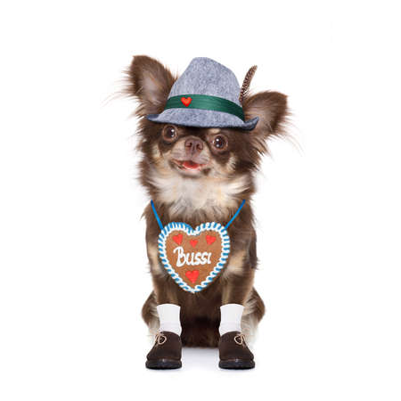 bavarian chihuahua dog with owner  isolated on white background , ready for the beer celebration festival in munich 写真素材 - 105697936