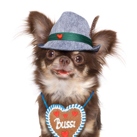 bavarian chihuahua dog with owner  isolated on white background , ready for the beer celebration festival in munich , with owner