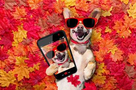 chihuahua  dog , lying on the ground full of fall autumn leaves, looking at you  with a smile,   lying on the back torso, taking a selfie with smartphone