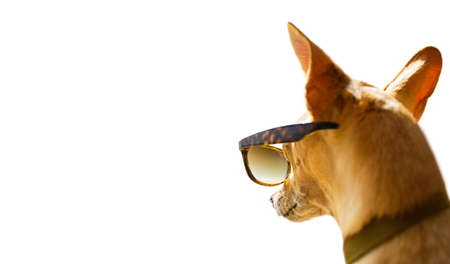 chihuahua dog watching and looking at negative space wearing funny sunglasses, on summer vacation holiday