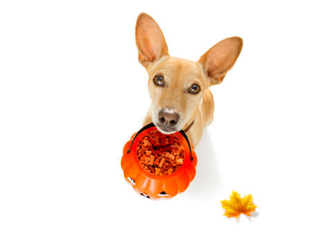 chihuahua dog ghost for halloween ,  scary and spooky looking up to owner , for trick or treat with pumpkin lantern in autumn Stock Photo
