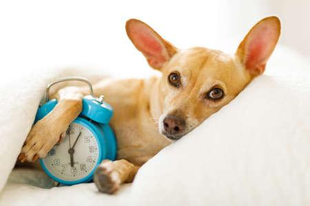 Chihuahua-Hund im Bett ruht oder schläft, mit Wecker im Schlafzimmer unter der Decke, zu früh zum Aufwachen und Aufstehen
