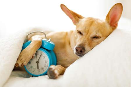 Perro chihuahua en la cama descansando o durmiendo, con el despertador sonando en el dormitorio debajo de la manta, para despertarse temprano y levantarse