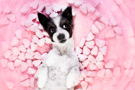 dog looking and staring at you   ,while lying on bed with valentines rose in mouth,  in love, marshmallows as a background