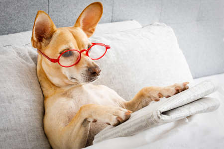 dog in bed resting and reading newspaper,  in bedroom under the blanket , early  in the morning