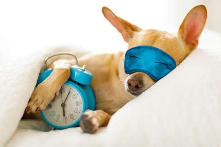 Perro chihuahua en la cama descansando o durmiendo, con el despertador sonando en el dormitorio debajo de la manta, para despertarse temprano y levantarse con máscara para dormir