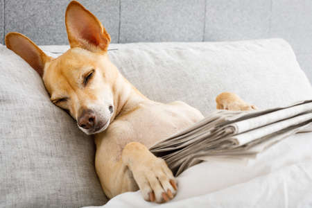 dog in bed resting and  sleeping  , with newspaper , dreaming in bedroom under the blanket , very tired or sick  and   ill