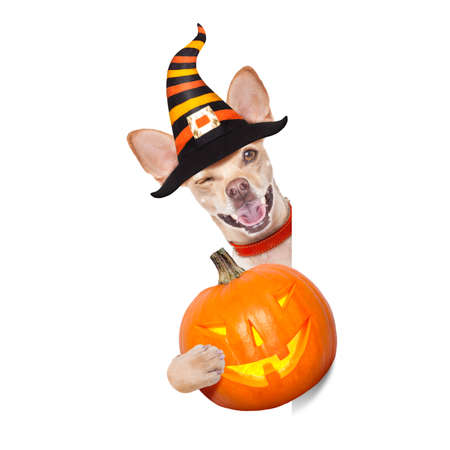 halloween devil,chihuahua dog scared and frightened, isolated on white background, wearing a witch hat, behind white blank banner or placard poster Stock Photo