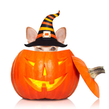 dog sitting as a ghost for halloween with pumpkin lantern or  light , scary and spooky, for a trick or treat Stock Photo - 109679520
