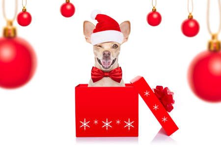 christmas chihuahua santa claus  dog isolated on white background with red  hat  for the holidays out of a gift present box Фото со стока