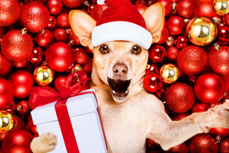 chihuahua podenco dog with santa claus hat for christmas holidays resting on a xmas balls background with gift or present box, taking a selfie with smartphone, phone , telephone