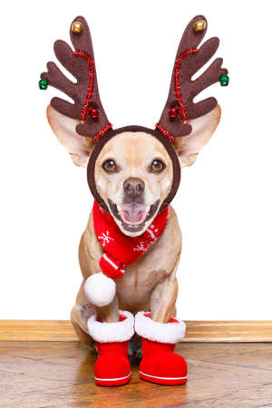christmas santa claus reindeer dog  with red santa claus boots and scarf, for the season holidays