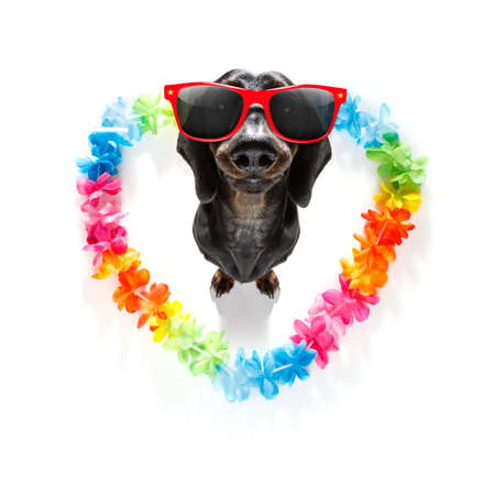sausage dachshund  dog in love for happy valentines day with rainbow  flower chain in heart shape  , looking up in wide angle