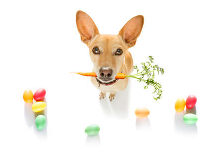 easter bunny chihuahua dog with basket and eggs isolated on white background for the holiday season