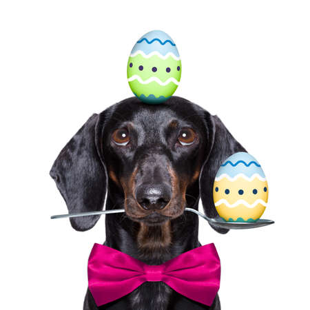 happy easter funny colourful sausage dachshund dog with eggs ,balancing eggs for the holiday season