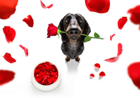 Dachshund  sausage dog  in love for happy valentines day with  rose flower in  mouth