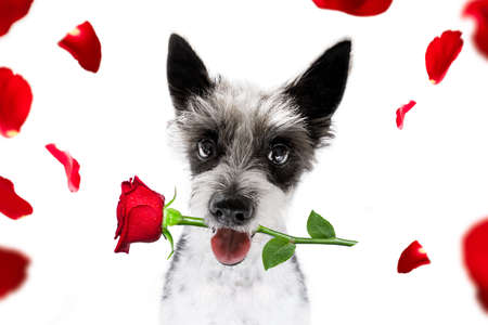 Valentines poodle  dog holding a rose with mouth as a gift Stock Photo