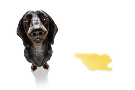Dachshund  sausage dog being punished for urinate or pee  at home by his owner