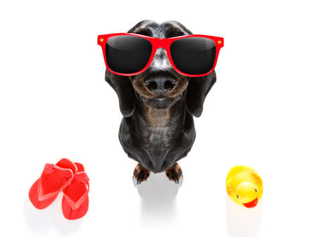 Summer vacation sausage dachshund dog with rubber duck and flip flops Standard-Bild
