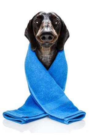 Perro salchicha dachshund aislado sobre fondo blanco.