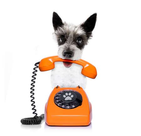 Pies pudel terrie jako sekretarka lub operator ze starym telefonem z tarczą