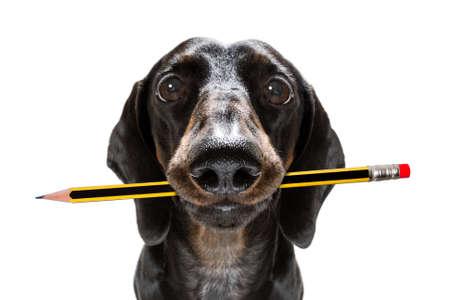 Pies jamnik kiełbasiany z ołówkiem lub długopisem w ustach
