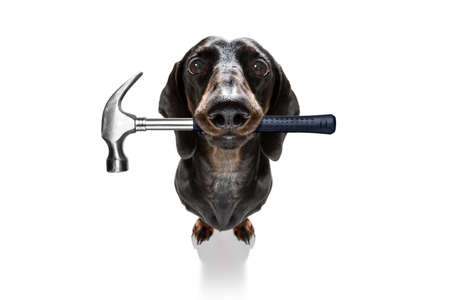 Handyman  sausage dachshund dog worker with helmet and hammer in mouth Stock fotó