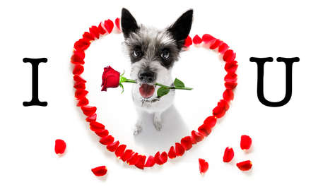 Poodle dog in love for happy valentines day with petals and rose flower