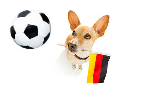 Soccer football  chihuahua dog playing with leather ball