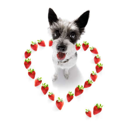 poodle with guilty conscience  for overweight, and to loose weight , isolated on white background and fresh vegan vegetarian strwaberries around in heart shape for valentines