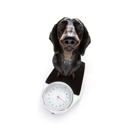 sausage dog with guilty conscience  for overweight, and to loose weight , standing on a  personal scale, isolated on white background and fresh vegan vegetarian fruit around