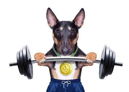dog as personal trainer with gold medal lifting a dumbbell bar wearing sport short pants
