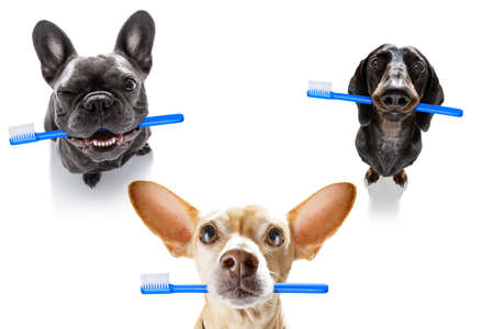 group row team of dogs holding a toothbrush with mouth , isolated on white background