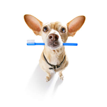 chihuahua dog holding a toothbrush with mouth , isolated on white background Stock Photo