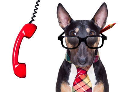 bull terrier dog tie going to work as office worker boss with nerd reading glasses , isolated on white background, on the telephone or phone