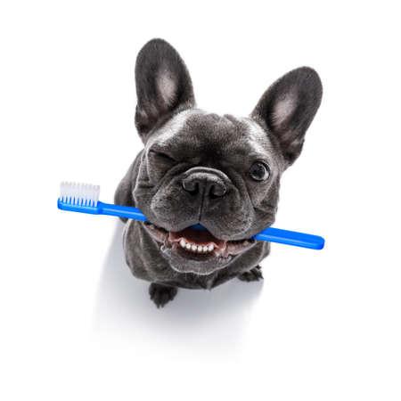 Französische Bulldogge Hund hält eine Zahnbürste mit Mund, isoliert auf weißem Hintergrund