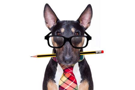 Bull Terrier pies krawat idzie do pracy jako pracownik biurowy szef w okularach do czytania nerd, na białym tle